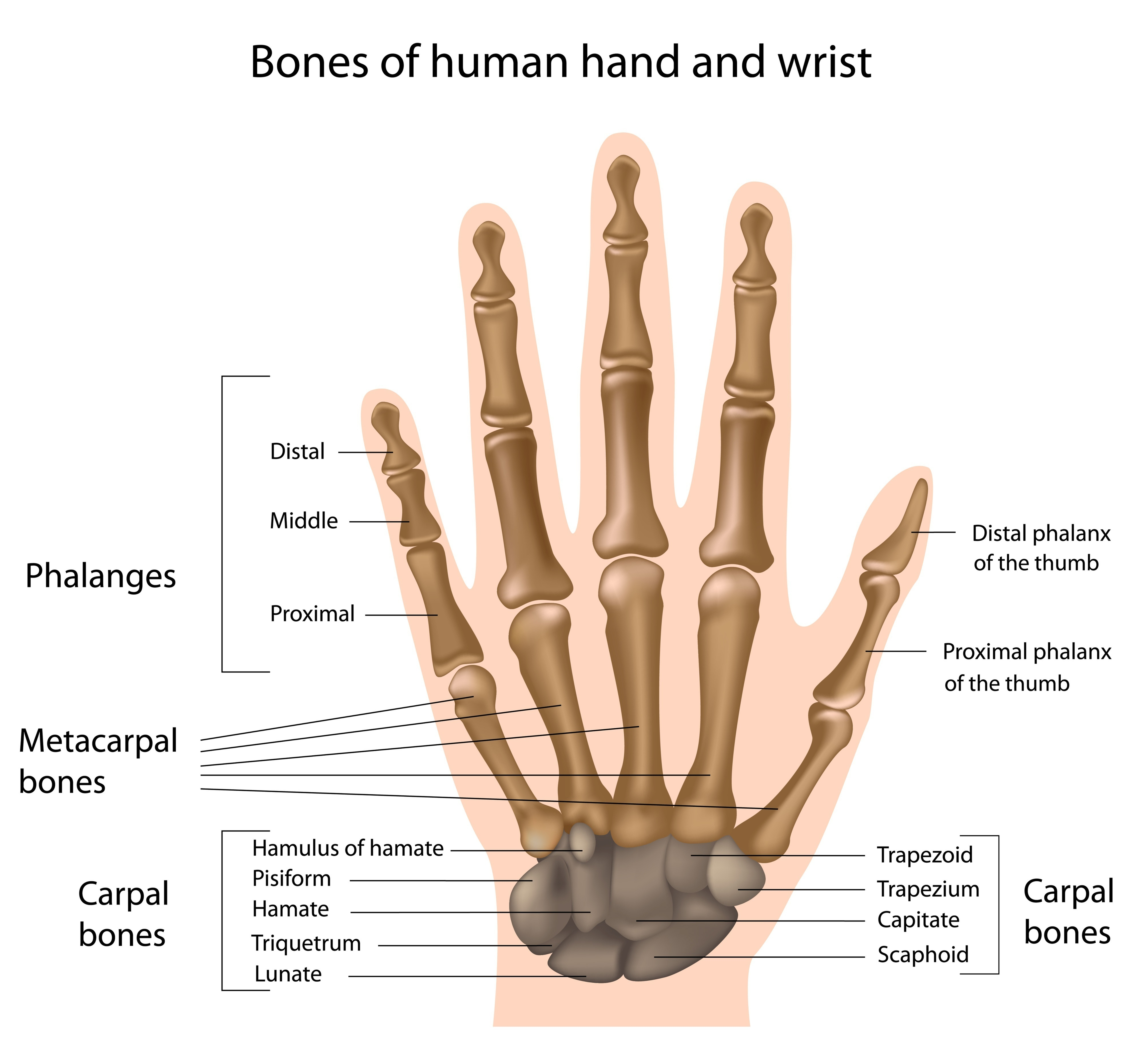 How many bones are in your hand